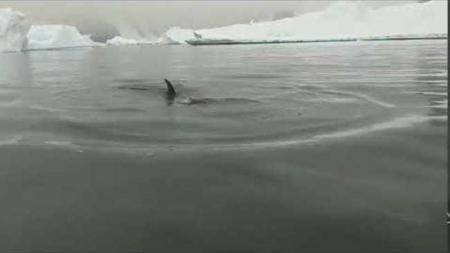 "<p>Meghan Shoop describes herself <a href=""https://www.continentaldrifter.net/antarctica--patagonia"" target=""_blank"">on her blog</a> as a ""travel addict."" She shared this remarkable video of a group of Minke whales swimming right under the Zodiac boat she and other tourists were in during a recent trip to Antarctica.</p><p><span class=""caps"">WWF</span> Australia recently attached cameras to Minke whales in the region <a href=""https://www.worldwildlife.org/press-releases/whale-cam-attached-to-minke-in-a-world-first"" target=""_blank"">to study their lives.</a> Credit: Meghan Shoop via Storyful</p>"