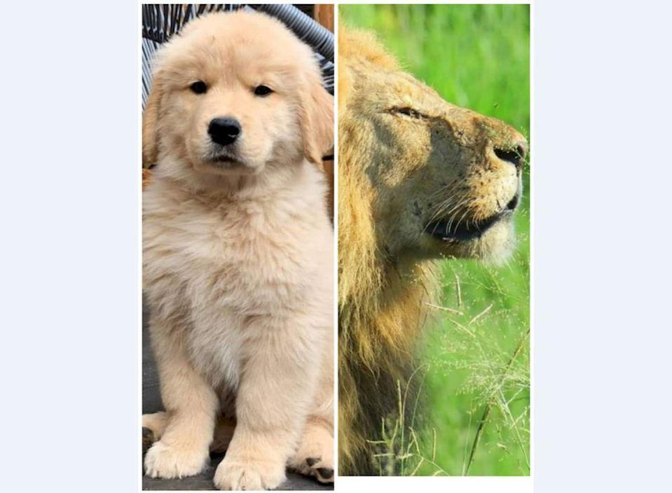 A zoo in in Xichang, Southwest China's Sichuan Province has gone viral after it tried to pass a golden retriever dog as an African lion. — Photos via Facebook/ Golden Retriever and SANParks Honorary Rangers