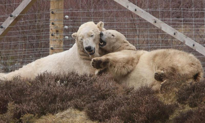 Parents of the new polar bear cub, Arktos and Victoria at the Highland wildlife Park
