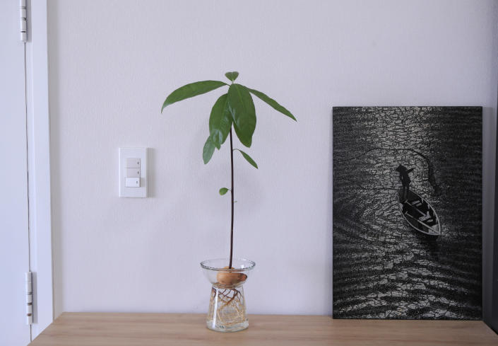 A nine week avocado plant is grown at the apartment of AP journalist Hau Dinh, during a virus lockdown in Vung Tau, Vietnam on Sep. 15, 2021. Dinh set off from Hanoi for the seaside resort for a long weekend in mid-July. The trip came just as the delta variant began sweeping through Vietnam, sparking harsh lockdown measures that left him trapped away from home. Nine weeks later, he's still there. (AP Photo/Hau Dinh)