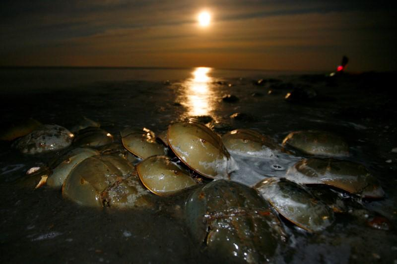 FILE PHOTO: Atlantic Horseshoe crabs come ashore to spawn and lay eggs on Pickering beach in Delaware Bay under a full moon