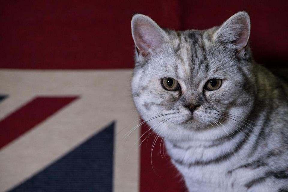<p>British Short Hair, Dotty, is pictured in her cage after winning best of breed at the Supreme Cat Show. The one-day Supreme Cat Show is one of the largest cat fancy competitions in Europe with over one thousand cats being exhibited. Exhibitors travel from all over to enter their cats into categories including Persian, Semi-Longhair, British, Foreign, Burmese, Oriental, Siamese. (Chris J Ratcliffe/Getty Images) </p>