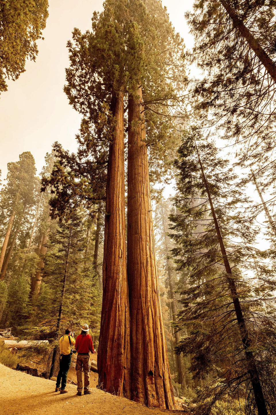 Members of the media look at sequoia trees in Lost Grove as the KNP Complex Fire burns about 15 miles away on Friday, Sept. 17, 2021, in Sequoia National Park, Calif. (AP Photo/Noah Berger)