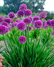 """<p>Just missing out on the top spot for 2021 Plant of the Year was the stunning Lavender Bubbles which are low maintenance and great for encouraging pollinators into your garden. </p><p><a class=""""link rapid-noclick-resp"""" href=""""https://www.thompson-morgan.com/p/allium-lavender-bubbles/WKB9527TM"""" rel=""""nofollow noopener"""" target=""""_blank"""" data-ylk=""""slk:BUY NOW"""">BUY NOW</a> <strong>from £11.69, Thompson Morgan</strong></p>"""