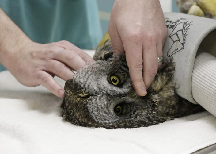 A volunteer holds down an injured great gray owl as it is checked by veterinary technician Greg Hansen, Wednesday, March 13, 2013, at the Raptor Center on the St. Paul campus of the University of Minnesota. The center listed about 30 owls as patients this week. It has been a tough winter for owls in some parts of North America. Some have headed south in search of food instead of staying in their northern territories. (AP Photo/Jim Mone)