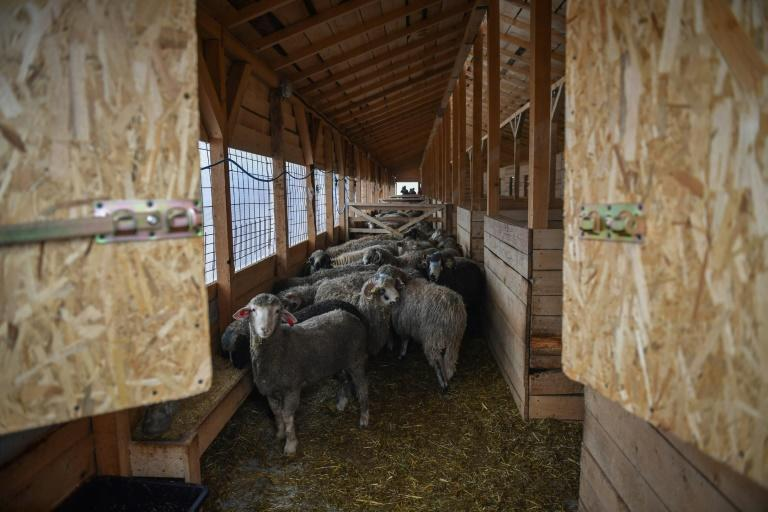 The rescued sheep are sheltered for the winter in a modern barn, waiting to be moved to a sanctuary or be adopted