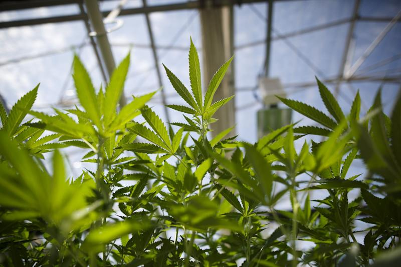 Tilray Slides on Loss, While Analysts Focus on Revenue Beat