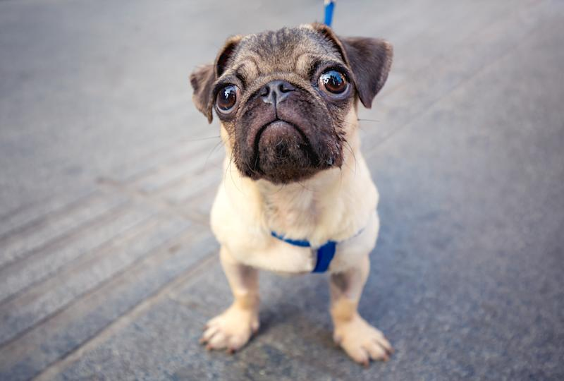cute baby pug in the street looking at camera