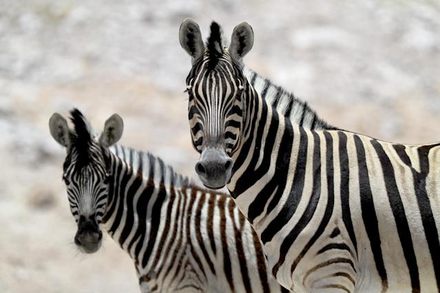 <p>Two zebras stare at the camera of a passing photographer crossing Etosha National Park. (Photo: Gordon Donovan/Yahoo News) </p>