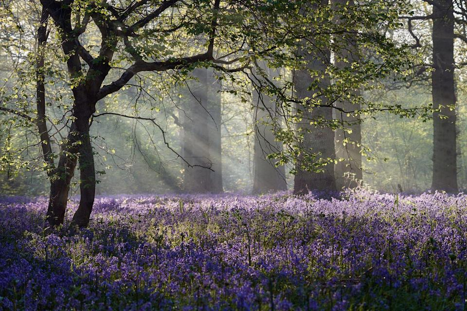 <p>Rays of sunlight burst through the forest canopy onto wild bluebells in a forest near Norwich, Norfolk, United Kingdom. </p>