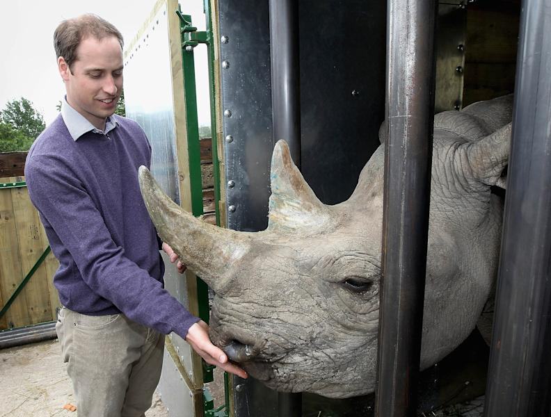 """In this Wednesday June 6, 2012 photo Britain's Prince William, the Duke of Cambridge, feeds a 5-year-old black rhino called Zawadi as he visits Port Lympne Wild Animal Park in Port Lympne, southern England . The Duke of Cambridge has called people involved in the illegal trade of rhino horn """"extremely ignorant, selfish and utterly wrong"""". Black rhinos are critically endangered in the wild because of the soaring price of rhino horn, which is worth more than gold due to demand in some countries. (AP Photo/Chris Jackson/Pool)"""