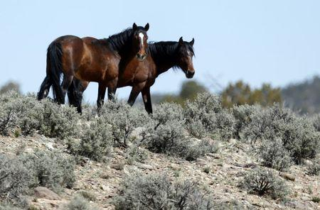 Two of a band of wild horses graze in the Nephi Wash area outside Enterprise, Utah