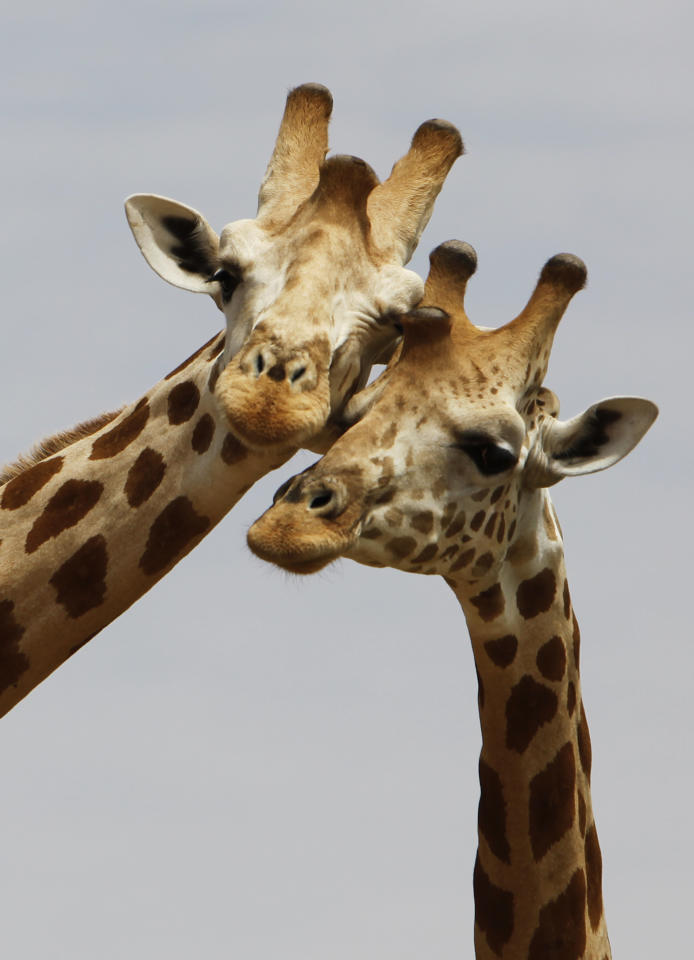 In this Saturday, Aug. 1, 2009 photo, a pair of giraffes from Africa's most endangered giraffe subspecies nuzzle as they stand in the bush near Koure, Niger. By all accounts, they should be extinct. Instead, their numbers have quadrupled to 200 since 1996, an unlikely boon experts credit to the concurrence of an impoverished government keen for revenue that has enacted laws to protected them, a conservation program that encourages people to support them, and a rare harmony with humans who have accepted their presence. (AP Photo/Rebecca Blackwell)