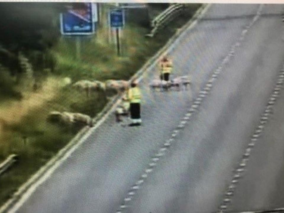 The pigs were eventually cleared just before 11.20am. (Highways England)