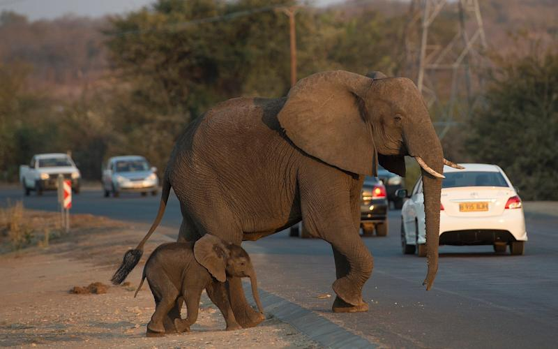 The elephants and the locals in Kasane, Botswana, are having trouble trouble co-existing, despite the success of conservation efforts - Eddie Mulholland