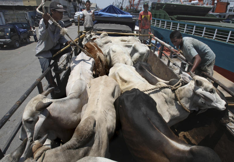In this Saturday, Feb. 9, 2013 photo, workers load cows from West Timor to be distributed across the main island of Java, upon arrival at Kali Mas port in Surabaya, East Java, Indonesia. The price of beef, the main ingredient in bakso, has hit a record high while other essential ingredients — garlic, shallots and chillies — have also recently skyrocketed. (AP Photo/Trisnadi)