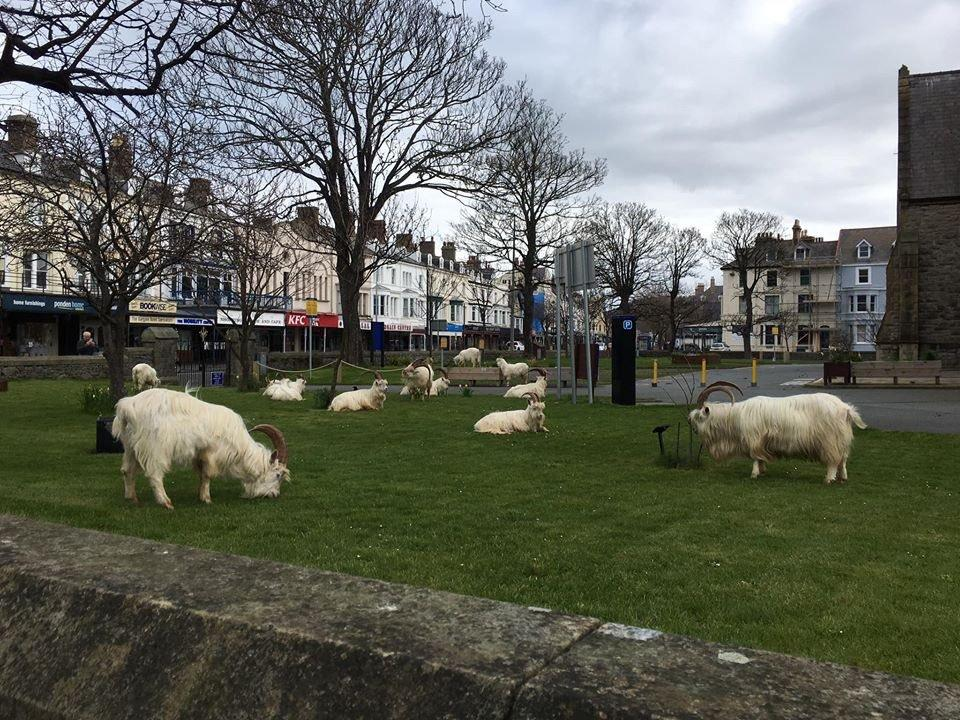 Mountain goats invade Welsh town amid coronavirus lockdown
