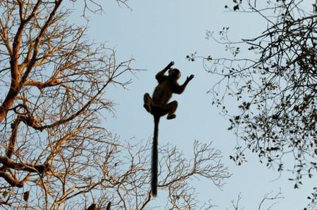 Red-fronted brown lemur jumps between trees at the Kirindy forest near the city of Morondava