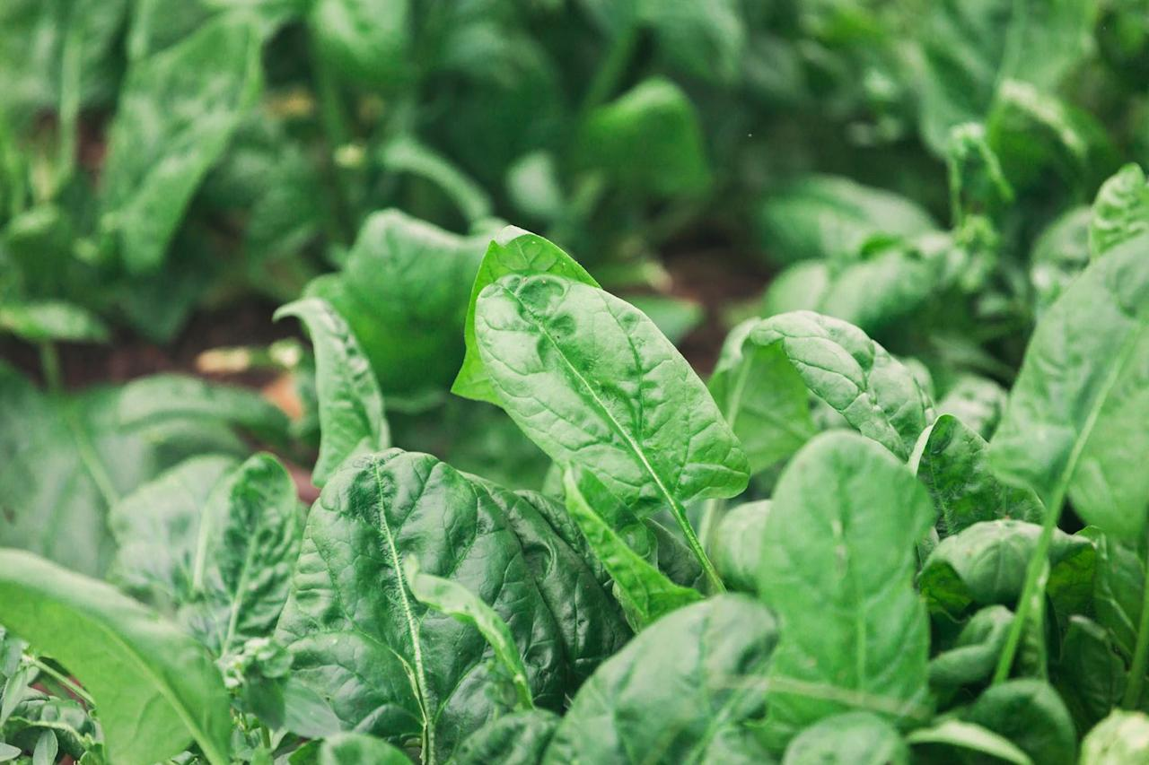 "<p>Spinach prefers cool weather and will bolt (go to seed) when temperatures warm up. It's your last chance to plant this hardy green until fall, so get it in the ground to enjoy baby leaves in a few weeks. Sprinkle seeds in a row, and cover lightly with soil. Keep moist.</p><p>Varieties to try: Bloomsdale Longstanding, Space  </p><p><a class=""body-btn-link"" href=""https://go.redirectingat.com?id=74968X1596630&url=https%3A%2F%2Fwww.burpee.com%2Fvegetables%2Fspinach%2Fspinach-bloomsdale-long-standing-prod000894.html&sref=https%3A%2F%2Fwww.housebeautiful.com%2Flifestyle%2Fgardening%2Fg31648793%2Fwhat-to-plant-in-may%2F"" target=""_blank"">SHOP NOW</a></p>"