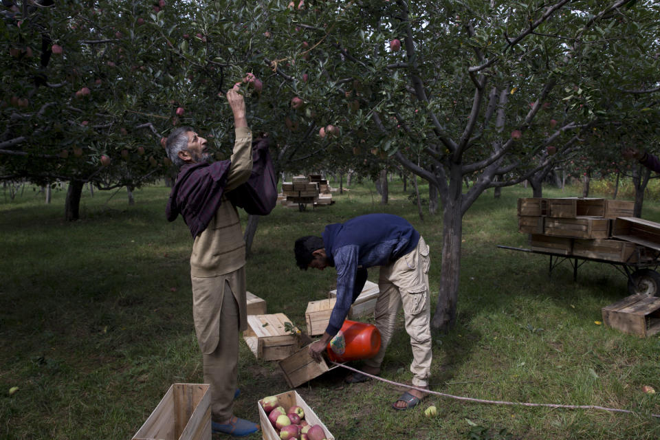 In this Sunday, Oct. 6, 2019, photo, a Kashmiri man plucks apples at an orchard in Wuyan, south of Srinagar, Indian controlled Kashmir. Kashmir's apple orchards, a backbone of the economy that supports nearly half the people living there, are deserted, crops rotting on the trees at a time when they should be bustling with harvesters. Losses are mounting as insurgent groups pressure pickers, traders and drivers to shun the industry to protest an Indian government crackdown. (AP Photo/Dar Yasin)