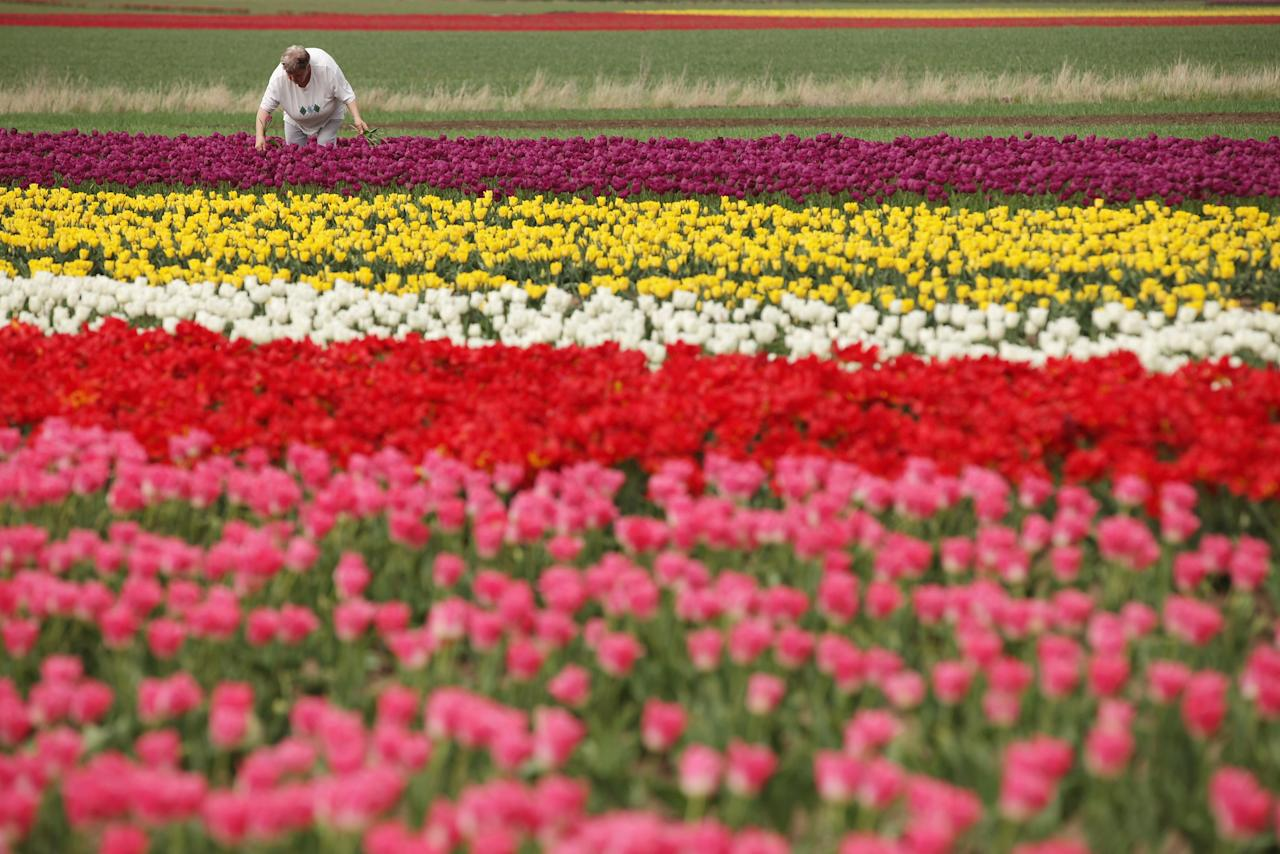 SCHWANEBERG, GERMANY - APRIL 27:  A visitor plucks tulips from a self-service tulip field on April 27, 2012 near Schwaneberg, Germany. Spring weather is finally taking hold in Germany with temperatures expected to reach 28 degrees Celsius by the weekend.  (Photo by Sean Gallup/Getty Images)
