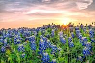 <p>They say everything is bigger in Texas. Well, the state flowers are more beautiful, too.</p>