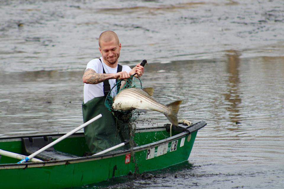 Tyler Spader, 31, rescues a striped bass from Little Silver Lake in Point Pleasant Beach, N.J.