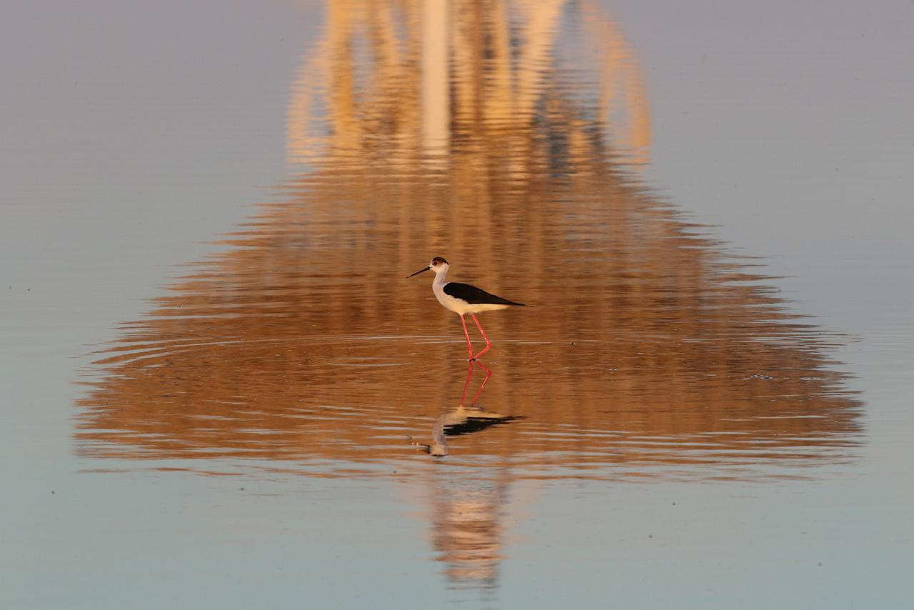 A black-winged stilt walks as the RT-70 radio telescope is reflected in the Galgasskoye lake near the village of Molochnoye, Crimea May 22, 2018. REUTERS/Pavel Rebrov     TPX IMAGES OF THE DAY