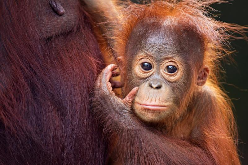 An orang-utan in Borneo: Getty Images