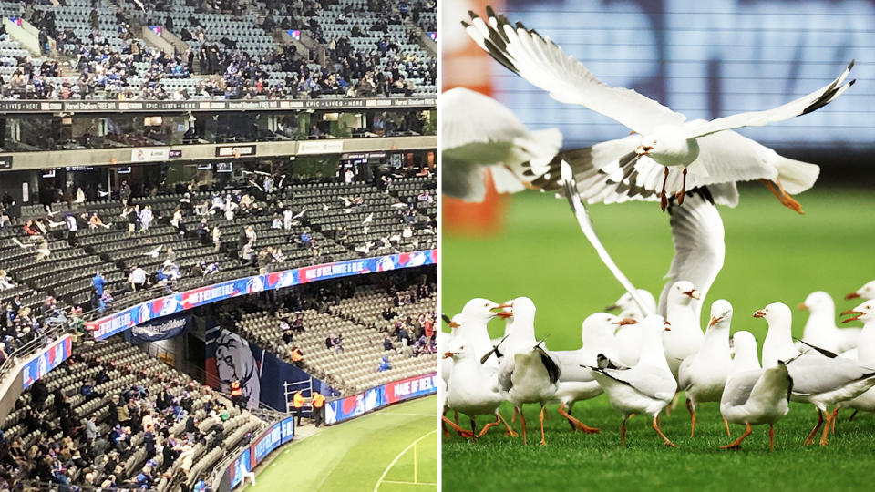 Seagulls, pictured here wreaking havoc on Marvel Stadium during the Western Bulldogs' clash with North Melbourne.