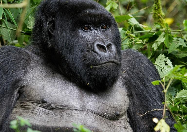 Rwanda is one of just three countries where one can see the mountain gorilla in the wild