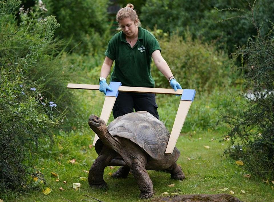 Keeper Charli Ellis tries to get the measure of Polly the Galapagos tortoise (Yui Mok/PA) (PA Wire)