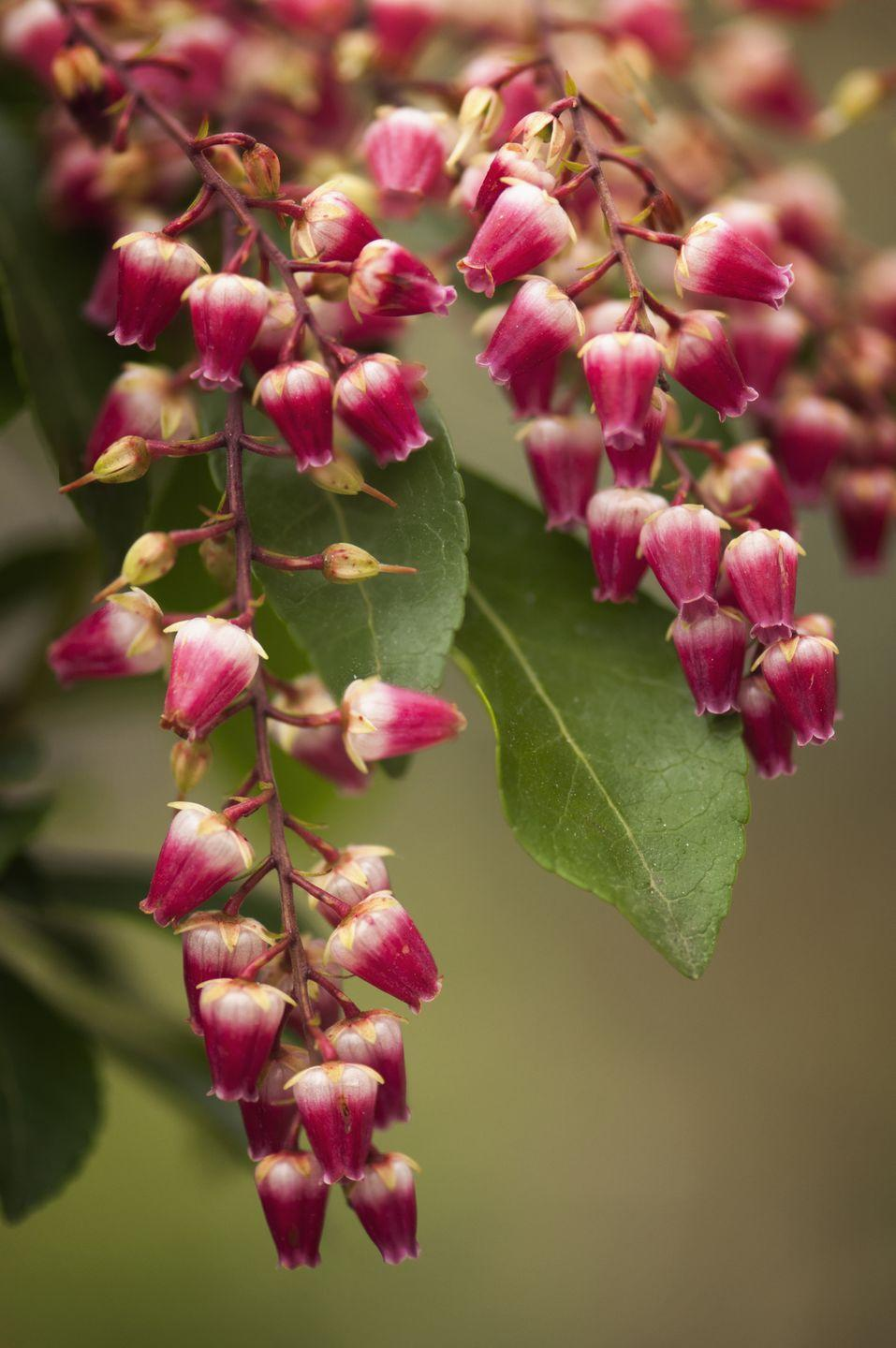 "<p>Tiny bells dangle from the branches of this shrub in early spring. Lily of the valley shrub, also called pieris, is a lovely and less-recognized shrub for any garden. They top out at 3 to 4 feet tall and prefer part sun with afternoon shade. </p><p><a class=""link rapid-noclick-resp"" href=""https://go.redirectingat.com?id=74968X1596630&url=https%3A%2F%2Fwww.homedepot.com%2Fp%2F4-5-in-Quart-Interstella-Lily-of-the-Valley-Shrub-Pieris-Live-Plant-Ruby-Red-Flowers-PIEPRC1007800%2F310916722&sref=https%3A%2F%2Fwww.thepioneerwoman.com%2Fhome-lifestyle%2Fgardening%2Fg36154837%2Fsmall-shrubs%2F"" rel=""nofollow noopener"" target=""_blank"" data-ylk=""slk:SHOP NOW"">SHOP NOW</a> </p>"