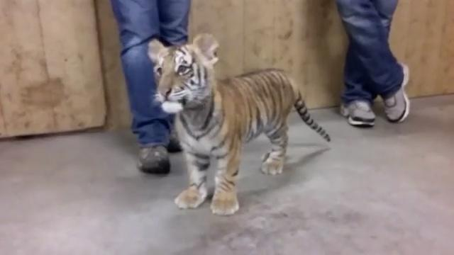 A seller who said he was based in Turkey claimed to be selling this tiger. Source: Supplied