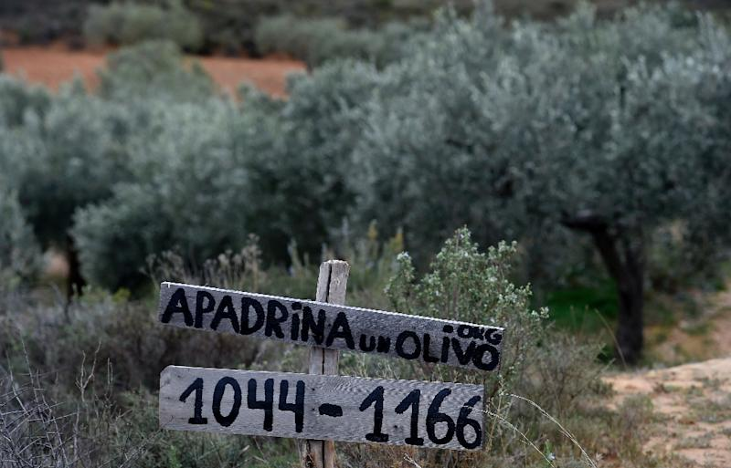 Of roughly 100,000 centuries-old olive trees abandoned in the Oliete area, more than 7,000 have been revived by the adoption project launched four years ago. Here the project's website is advertised by an abandoned grove (AFP Photo/JOSE JORDAN)