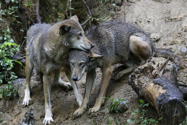 A pair of red wolves huddle at the Museum of Life and Science in Durham, N.C., on Monday, May 13, 2019. With less than three dozen roaming the forests of North Carolina, the red wolf has seen its numbers crash in recent years, putting it in the most precarious position of any wolf species in the U.S. (AP Photo/Gerry Broome)