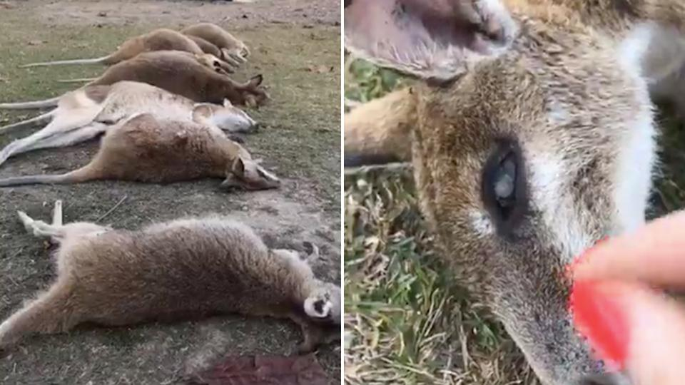 The wallabies were found dead in Trinity Beach, upon initial examination, the wallabies did not have bite marks on them. Source: The Agile Project / Facebook