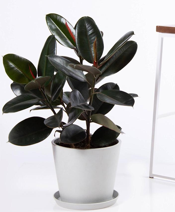 """Green thumbs will also appreciate a new indoor tree, like this rubber tree with stunning glossy leaves (bonus: it's surprisingly low-maintenance). $150, Bloomscape. <a href=""""https://bloomscape.com/product/burgundy-rubber-tree/"""" rel=""""nofollow noopener"""" target=""""_blank"""" data-ylk=""""slk:Get it now!"""" class=""""link rapid-noclick-resp"""">Get it now!</a>"""