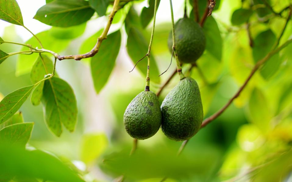 Avocados ripening on the tree - iStockphoto
