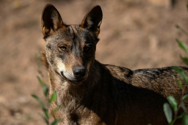 Hunting wolves is now illegal in northern Spain (AFP/PIERRE-PHILIPPE MARCOU)