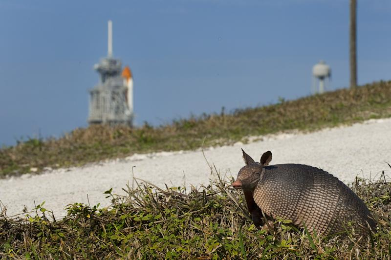 An armadillo prepares to cross a gravel road as the space shuttle Endeavour rests on the launch pad at Kennedy Space Center before the scheduled launch of STS-130 in Cape Canaveral, Florida, February 4, 2010. The STS-130 will launch on February 7, 2010, at 4:39 am EST. AFP PHOTO/Jim WATSON AFP PHOTO/Jim WATSON (Photo credit should read JIM WATSON/AFP via Getty Images)