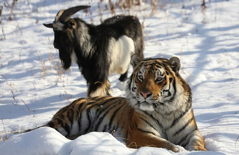 Amur the tiger rests close to a goat named Timur in the Primorye Safari Park