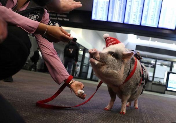 PHOTO: Travelers reach out to pet a pig named LiLou at San Francisco International Airport in San Francisco, Dec. 10, 2019. (Justin Sullivan/Getty Images, FILE)