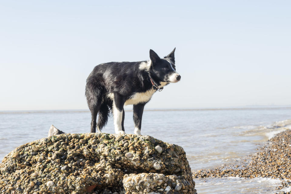 One-year-old border collie Sweep must take a boat to work as a sheepdog at Orford Ness, off the Suffolk coast. (National Trust/ Richard Scott/ PA)