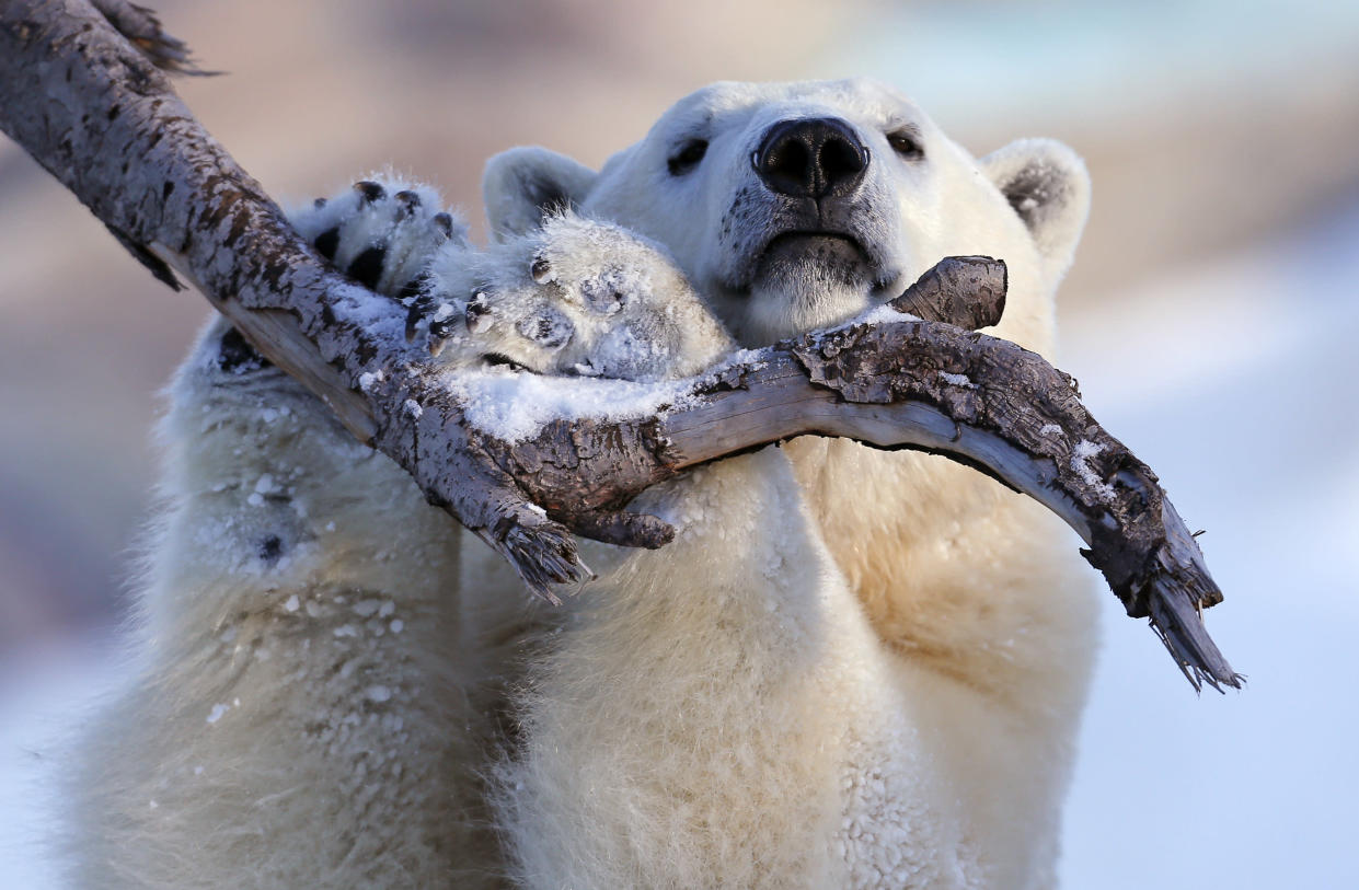 Taiga the polar bear grabs a tree branch at the Quebec Aquarium in Quebec City, December 30, 2013. REUTERS/Mathieu Belanger (CANADA - Tags: ANIMALS SOCIETY TPX IMAGES OF THE DAY)