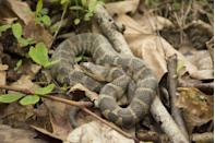 <p><strong>Lake Erie Water Snake -</strong> Recovery efforts were put in place after this species was put on the endangered list in 1999 and it worked! As of 2011 its population is steadily rising. </p>