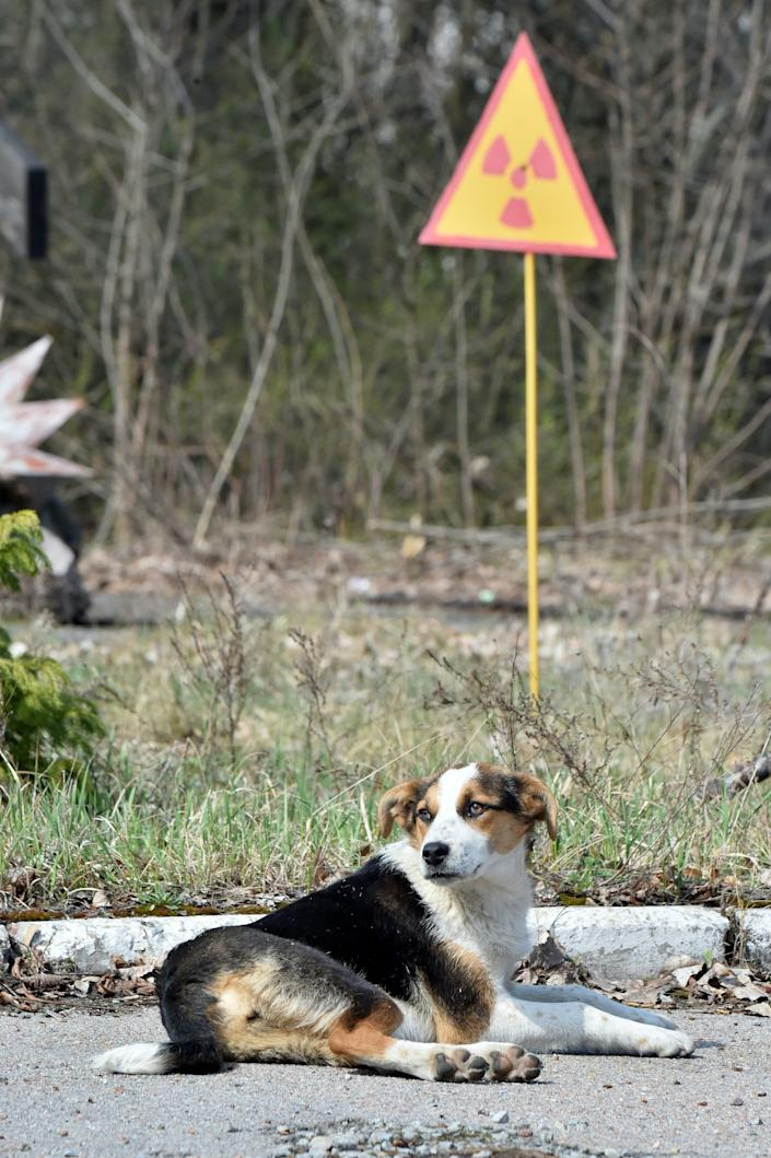 A dog is seen next to a sign of radioactivity in the ghost city of Prypyat near Chernobyl Nuclear Power Plant on April 8, 2016.