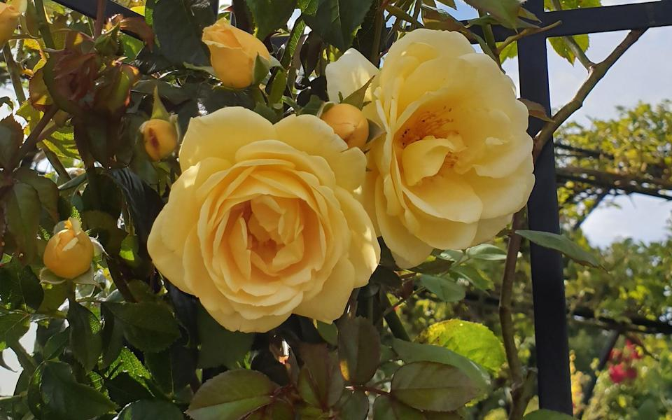 'Poetical Liz' is a modern climber with fragrant, semi-double, amber-yellow flowers - Peter Beales Roses