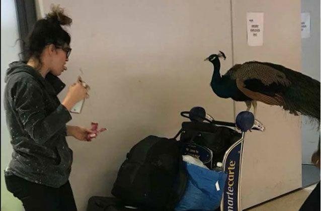 "Delta Air denied a peacock from boarding as a ""comfort animal"" to accompany a passenger on a flight. Source: TheJetSet/Facebook"