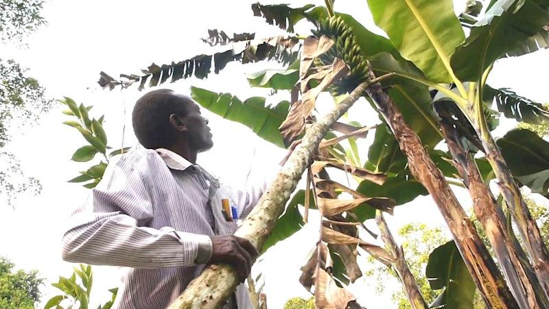 With his half-acre banana plantation, Charles Semakula can put his family's favourite food on the table every day (AFP Photo/)